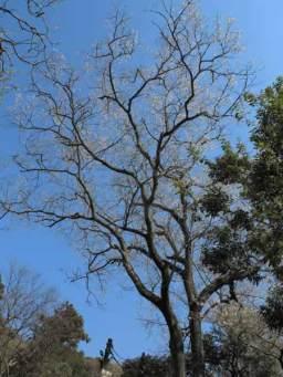 浄智寺のタチヒガン(エドヒガンの別称)。タチヒガンは桜の中でも長寿で知られます。浄智寺のタチヒガンは樹高20m、樹齢は120年程です。受付の裏手にあり、高さが際立っているためすぐわかります。