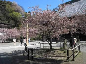 妙本寺の海棠。祖師堂前にある左右の海棠のうち、陽当りのよい左の2本が先に開花し、写真手前、祖師堂右手の1本は遅れて咲きます。