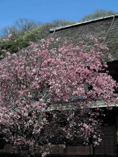 海蔵寺の海棠。茅葺屋根との相性も抜群。