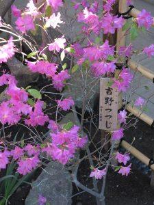 長谷寺山門近くの吉野躑蠋(ヨシノツツジ)。3月〜4月に咲き、桜や木瓜(ボケ)、万作(マンサク)と一緒に見られます。