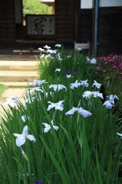 海蔵寺の花菖蒲(ハナショウブ)。6月に咲き、あじさいとともにみられます。
