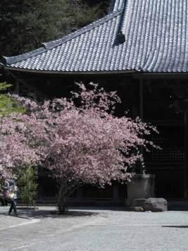 妙本寺の海棠は鎌倉最大級の木造仏堂建築、祖師堂の前に3本あります。深い谷戸と山の雰囲気が魅力的な妙本寺の静けさに慎ましい華やかさを添えてくれます。