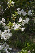 浄妙寺の石楠花(シャクナゲ)。