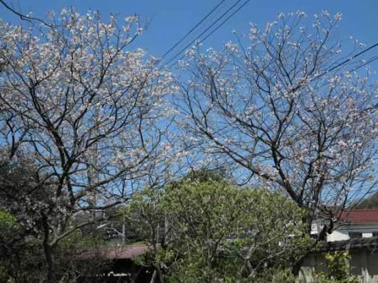 英勝寺の桜。境内の塀沿いに10本程植えられています。