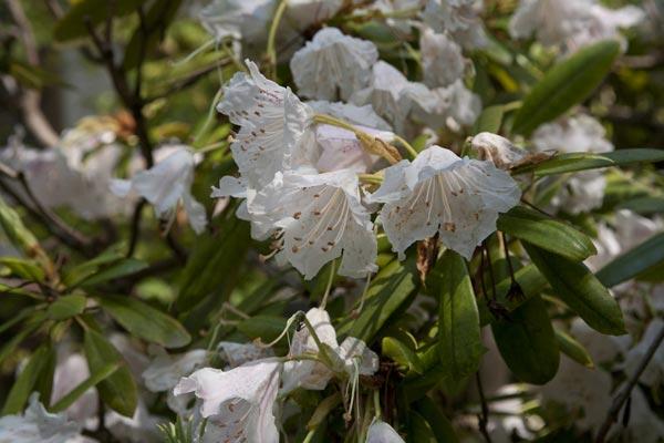 安国論寺の石楠花(シャクナゲ)。