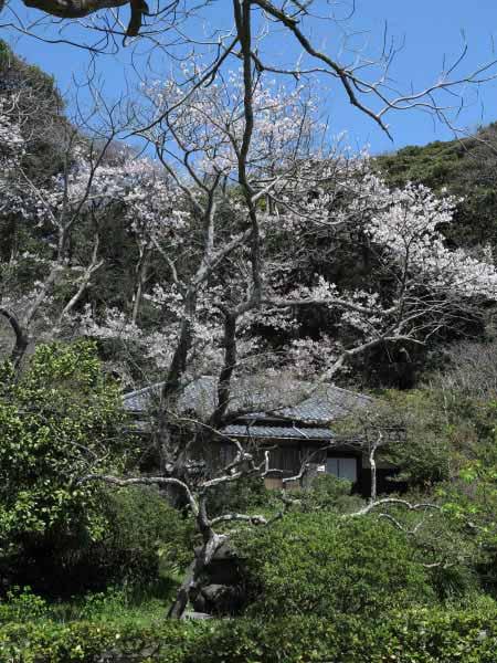 鎌倉市川喜多映画記念館の桜。遊歩道になっており、開館中は開放されています。