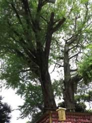 江ノ島、むすびの樹。二股にわかれた大銀杏に夫婦円満などを祈願します。