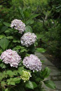 2014年6月17日、瑞泉寺のあじさい。8分〜9分咲き。