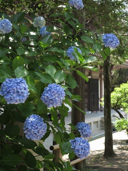 円覚寺仏殿背後の杉木立に咲くあじさい。