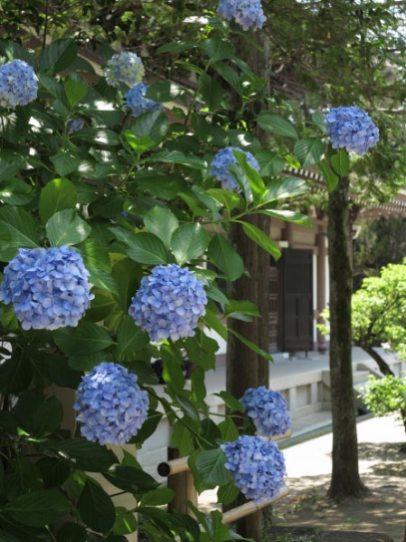 円覚寺仏殿背後の杉木立に咲くあじさい。夏らしい雰囲気です。