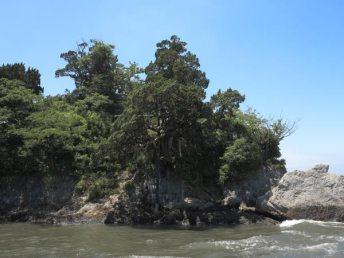 森戸川対岸からみる飛柏槙(ビビャクシン)。