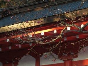 2015年1月8日荏柄天神社の寒紅梅。