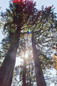 樹齢1,200年という箱根神社の矢立杉。