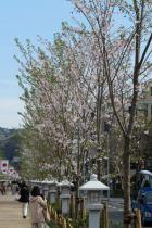 段葛。桜並木は植え替えられました。