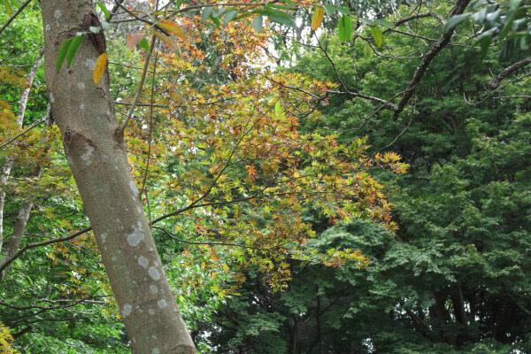 平成28年(2016年)10月11日、源氏山の紅葉。唯一、紅くなっていた場所。何だか得した気分です。