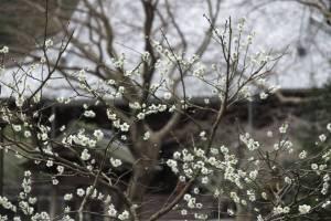 平成29年(2017年)2月24日、妙本寺の梅。