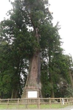 清澄寺の御神木、千年杉。