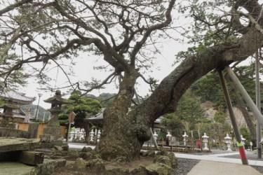 誕生寺境内の松。どのくらいの樹齢なのでしょう。見惚れてしまいました。