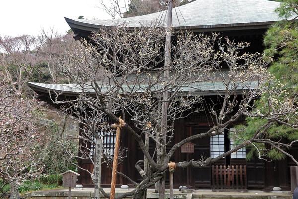平成30年(2018年)2月23日(金)、瑞泉寺の梅。本堂前の黄梅。