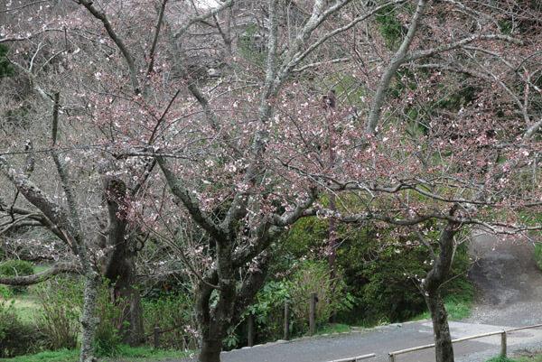 平成30年(2018年)3月23日(金)、源氏山の桜。葛原岡神社前です。