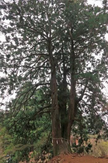 大山阿夫利神社本社への巡礼登山道にある夫婦杉。左右同じような形の巨木で、樹齢は500〜600年程。【大山阿夫利神社】