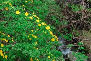 「大山ケーブル駅」近くにあった山吹。日本の花はいいです。外来種はなるべく持ち込まないようにしたいものです。【大山阿夫利神社】