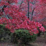 令和元年(2019年)11月27日、源氏山の紅葉。