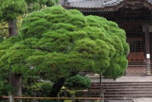 修禅寺。本堂前の松。