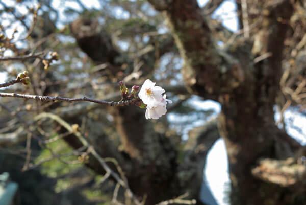 令和2年(2020年)3月19日、光明寺の桜。唯一一輪だけ咲いていた花。