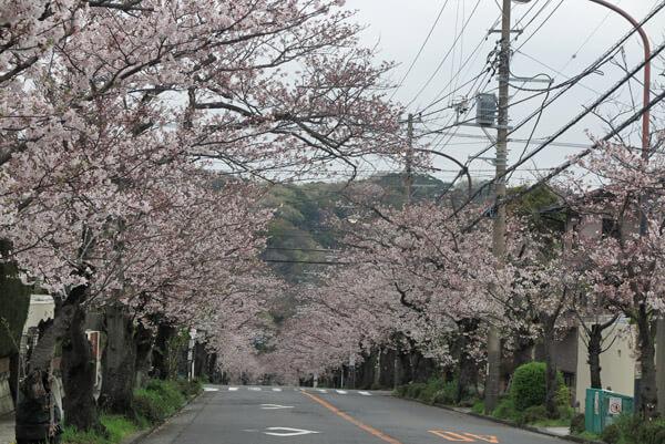 令和2年(2020年)3月30日(月)、ハイランドの桜。