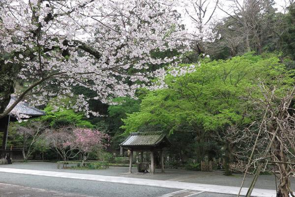 令和2年(2020年)3月30日(月)、妙本寺の桜。