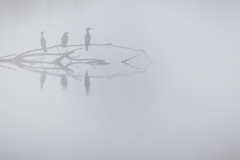 Pygmy Cormorant (Microcarbo pygmaeus) group perched on tree in morning mist. Hula Nature Reserve. Hula Valley. Israel.