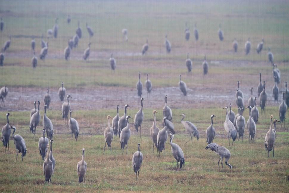 Common Cranes (Grus grus) flock in rain. Agamon Hula. Hula Valley. Israel.