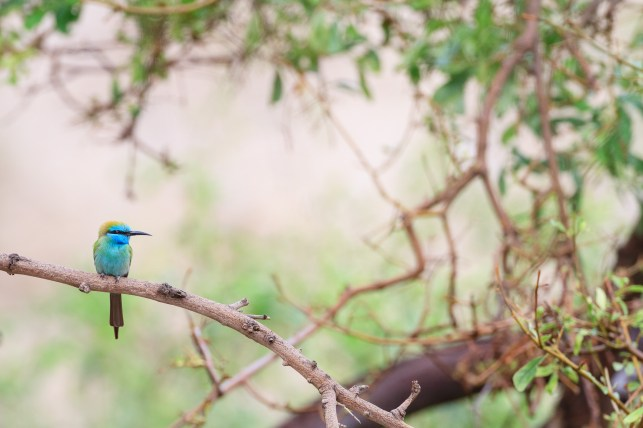 Arabian Green Bee-eater (Merops cyanophrys) perched on branch. En Gedi Nature Reserve. Israel.