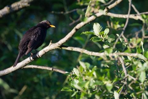 Eurasian Blackbird (Turdus merula) male perched on branch. Murnauer Moos. Murnau am Staffelsee. Upper Bavaria. Germany.