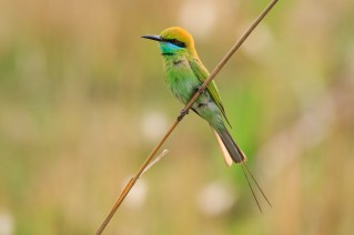 Asian Green Bee-eater (Merops orientalis) perched on branch. Corbett National Park. Uttarakhand. India.