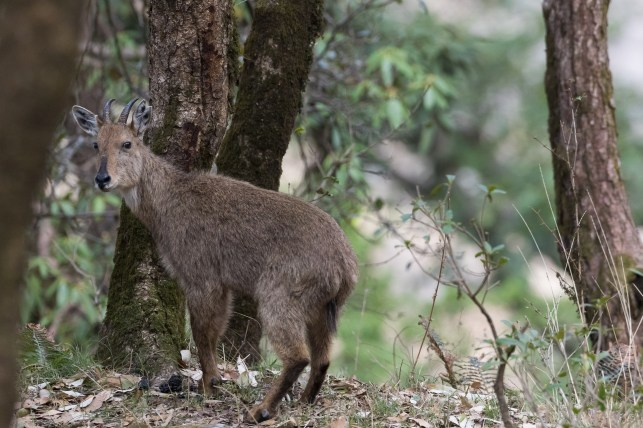 Himalayan goral (Naemorhedus goral) in natural habitat. Pangot. Nainital district. Uttarakhand. India.