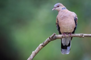 Oriental Turtle-dove (Streptopelia orientalis) perched on branch. Pangot. Nainital district. Uttarakhand. India.
