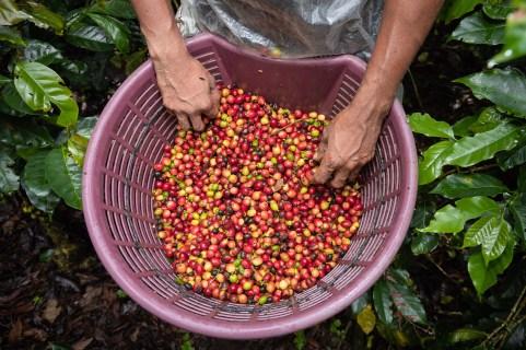 Granos de café. | Foto © Òscar Domínguez.