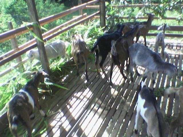 kambing2 telah berpindah ke kandang baru, Changlun