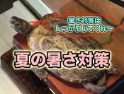 カメ飼育 夏の暑さ対策 クサガメ