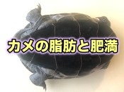 カメの脂肪と肥満 足の付け根のブヨブヨ
