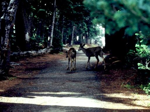 Deer in the Safari Park 01