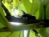 Kumbang 6