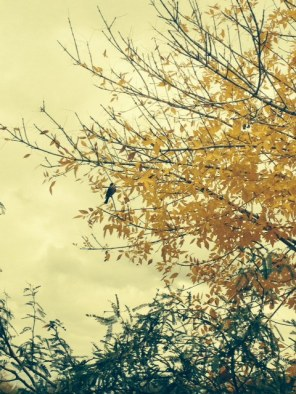 A fall-like golden leafed tree, a rare sight in our neck of the woods.