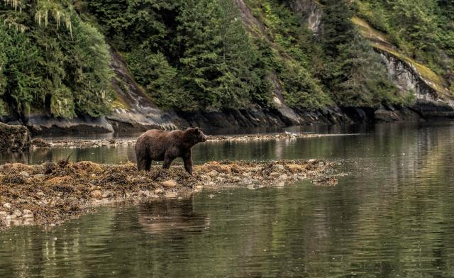 Grizzly bear standing at water