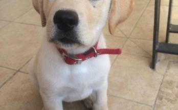 Λαμπραντόρ το σκυλί θαύμα