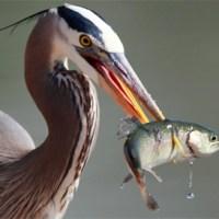 Burung Pemakan Ikan