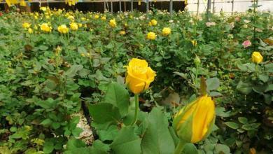 Photo of زهور من مناشئ عالمية تزين ضريح ومرقد الامام الحسين (ع) يتم انتاجها في كربلاء
