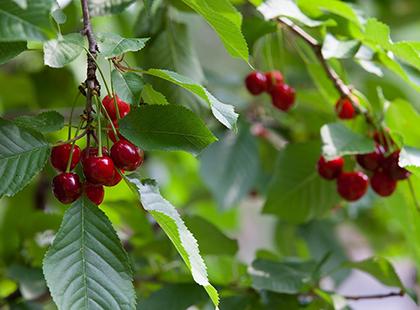 Нестабилнен откуп на црешите